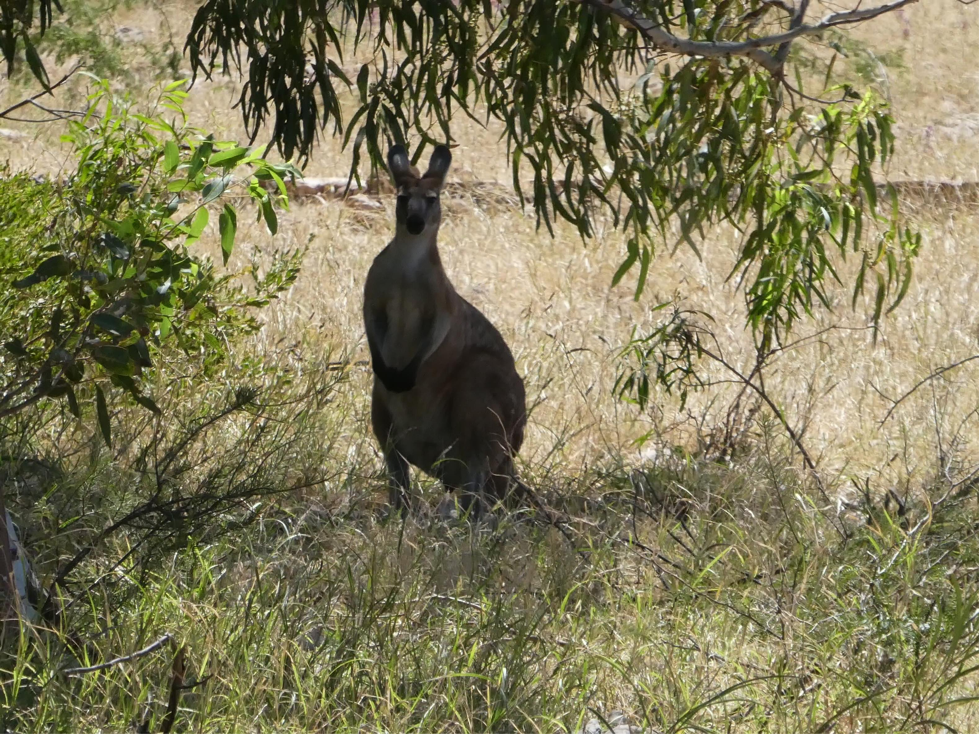 Riesenkänguru Australien