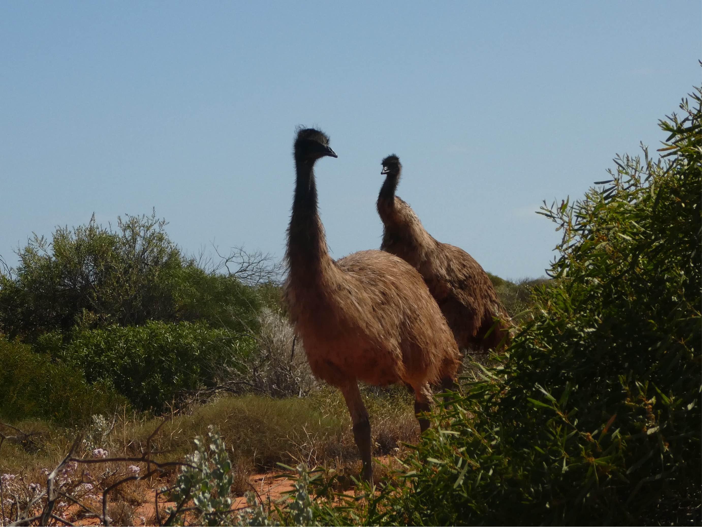 Emus in Australien