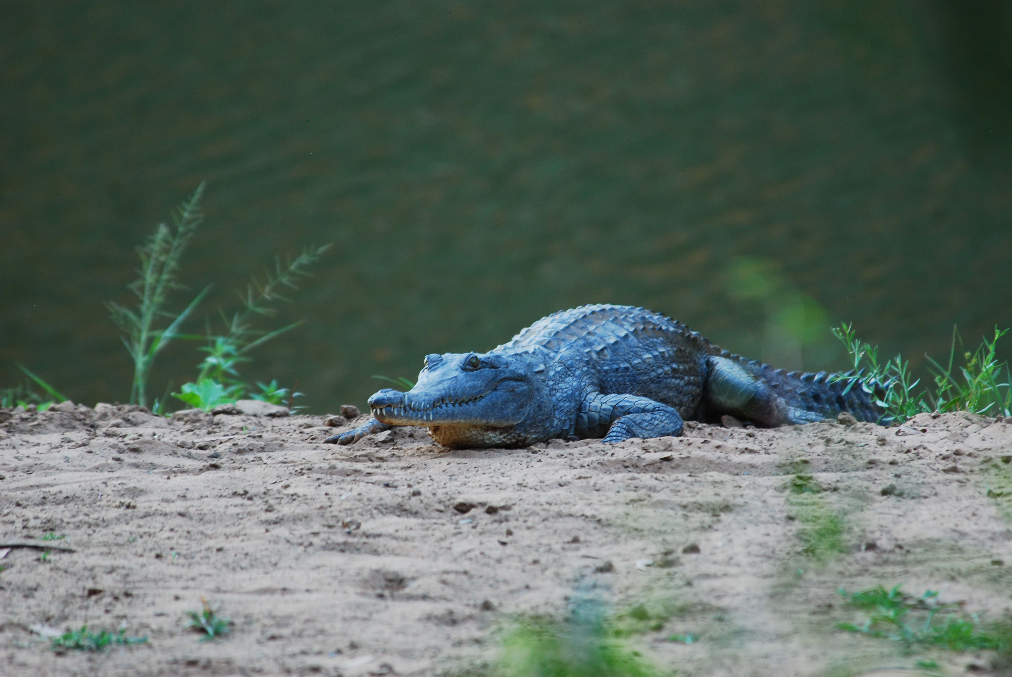 Krokodile Australien